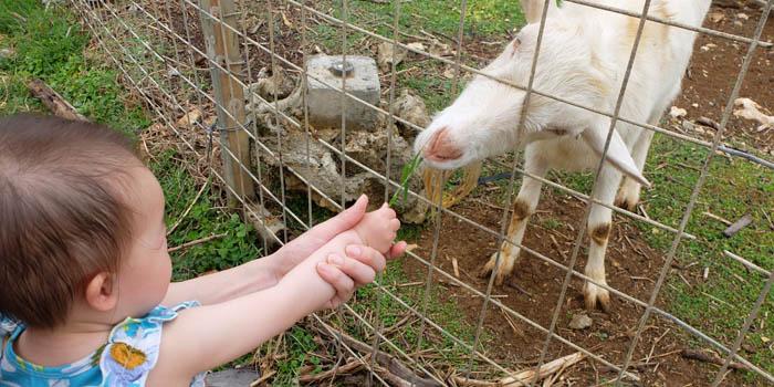 ヤギの餌やりをする双子の幼児